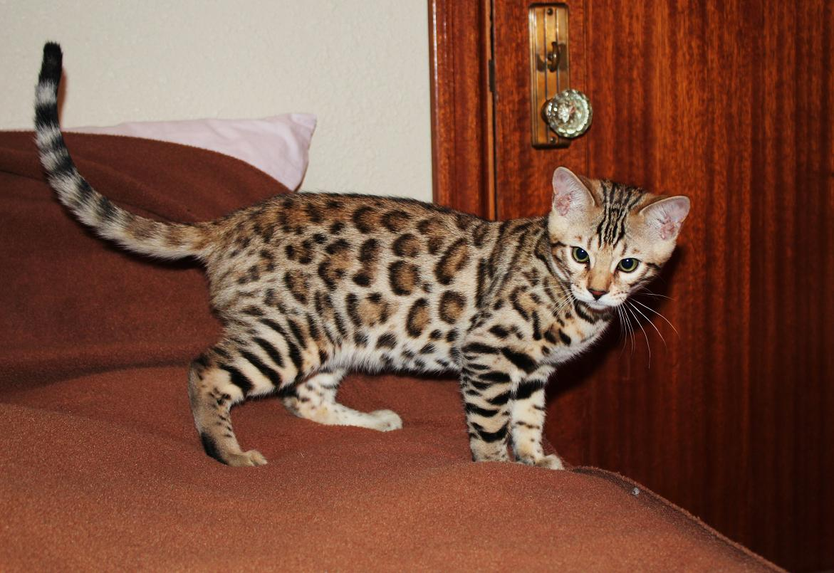 Bengal Cats For Sale Vancouver Wa