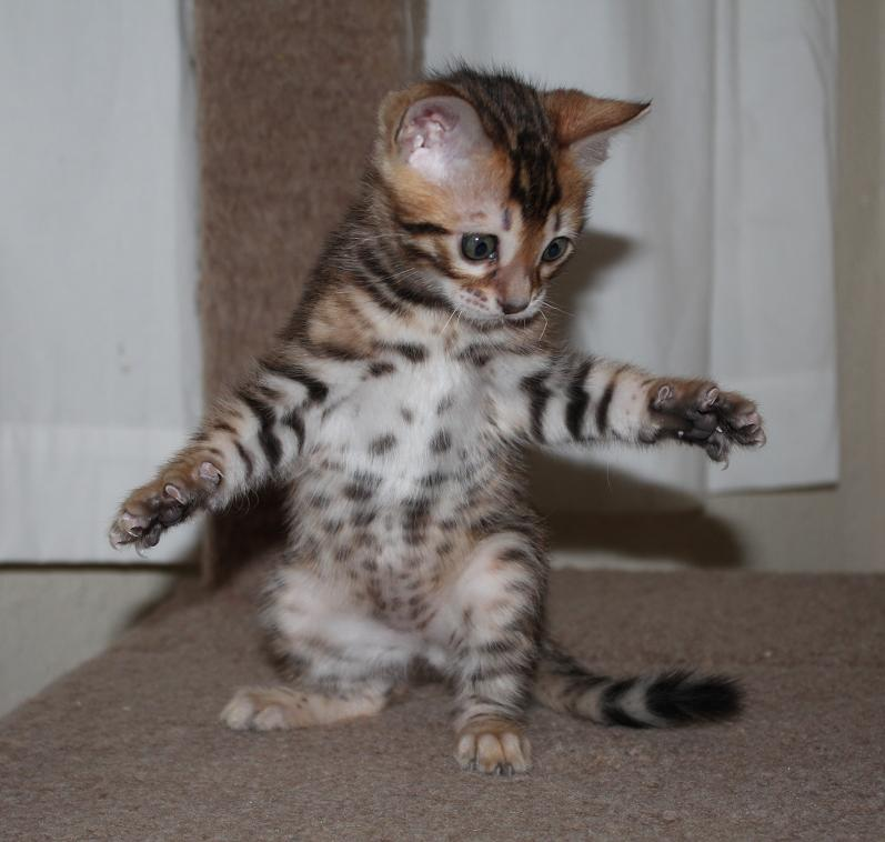 Enchantedtails Bengal Cats Trixie Belle S Available Purebred Registered Bengal Kittens For