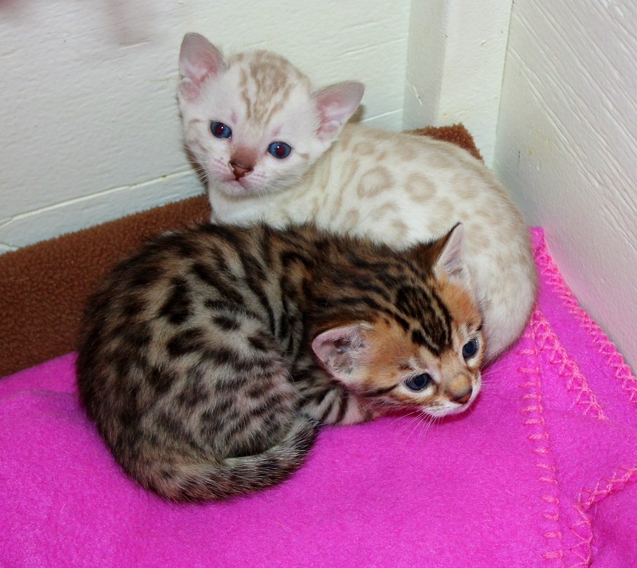 EnchantedTails Bengal Cats Rachani Belle's Available Purebred