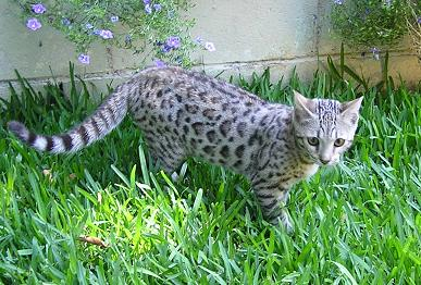 EnchantedTails Bengal Cats ~ Wurthwld's Available Purebred
