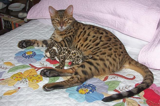 Enchantedtails Bengal Cats Great Homes For Our Kittens And Cats Purebred Tica Registerd