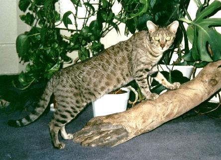 EnchantedTails Bengal Cats - Information, History, and