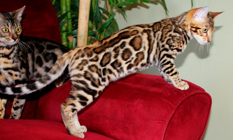 EnchantedTails Bengal Cats and Kittens ~ Breeder of