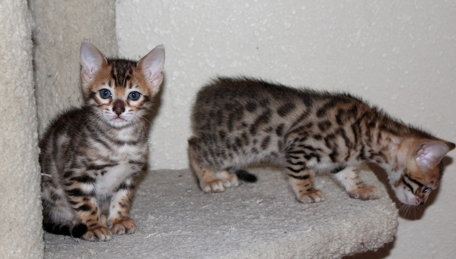 EnchantedTails Available Purebred, Registered Bengal Kittens